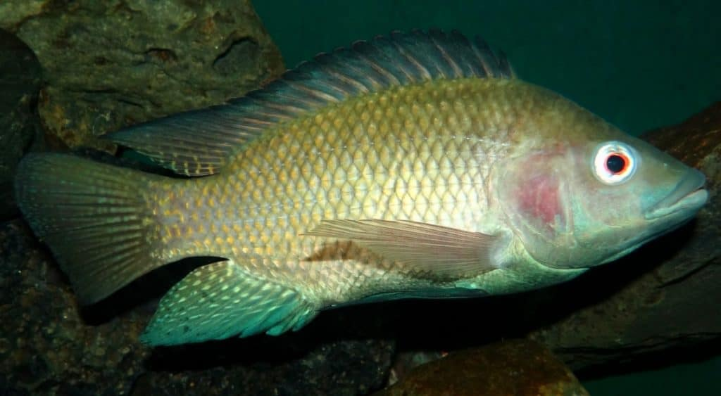 Tilapia fish used in aquaponics