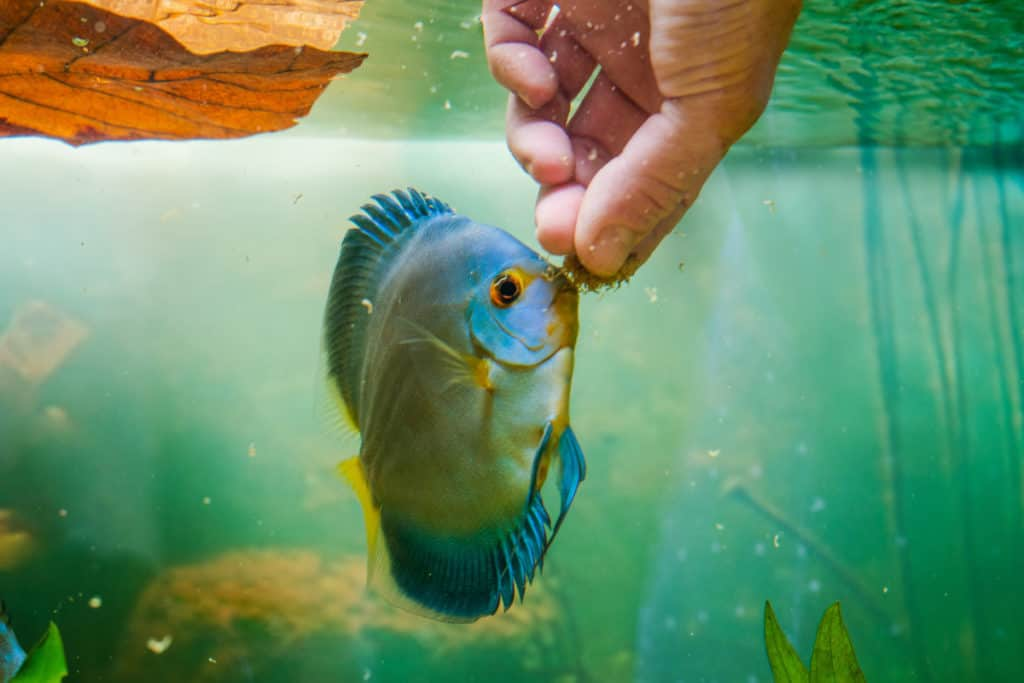 discus fish feeding
