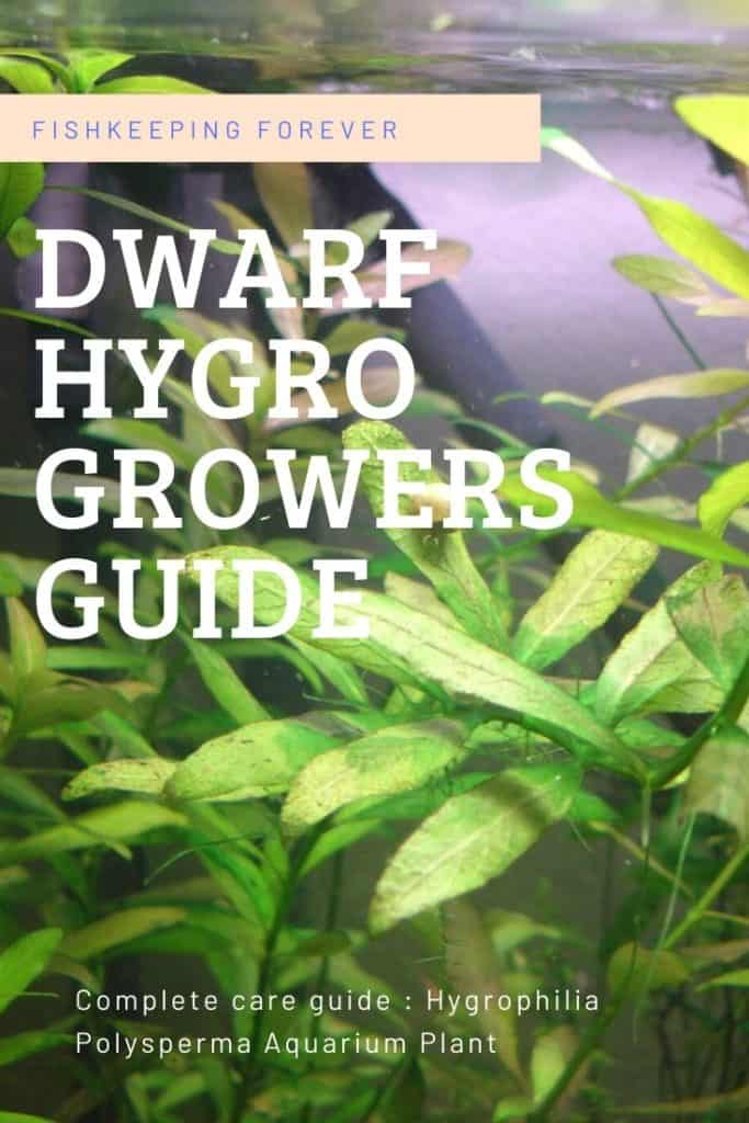 Hygrophila Polysperma | Complete Growers Guide 3