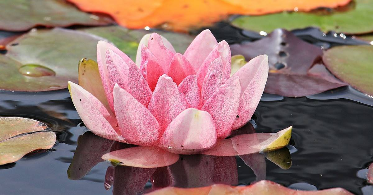 7 perfect pond plants
