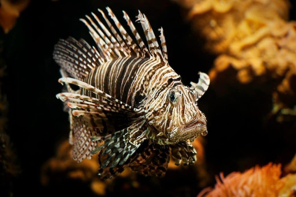 Lionfish, (Pterois)