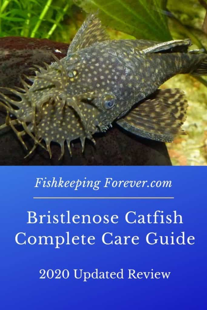 Bristlenose Catfish | Size | Breeding | Diet | Cost | Care Guide 1