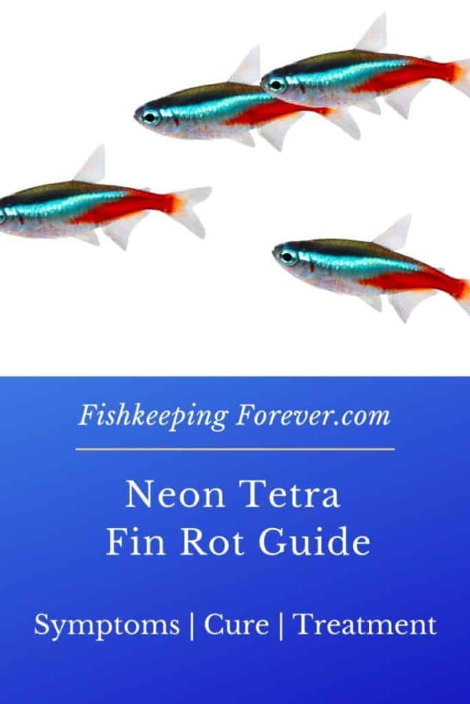 Neon Tetra Fin Rot: Treatment | Diseases | Cures | Remedies 1