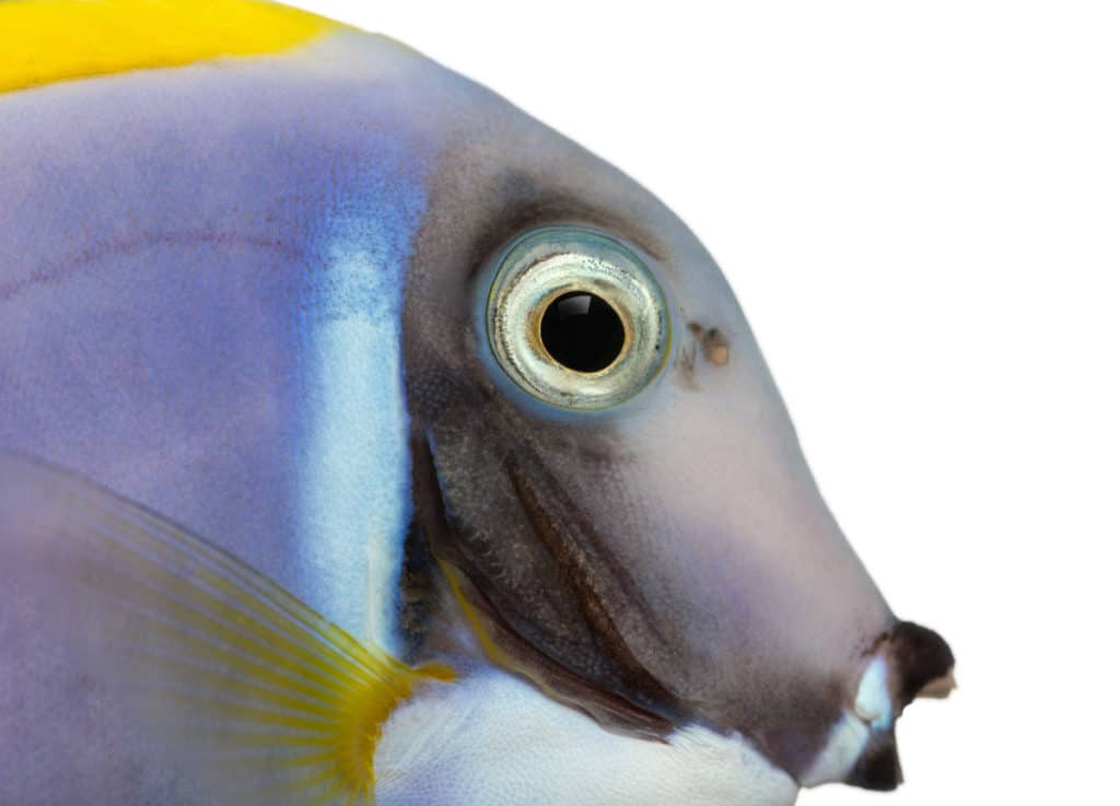 Powder Blue Tang Diet: What do they eat? 1
