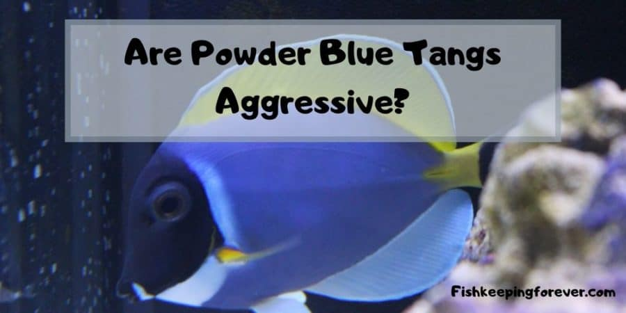 powder blue tang