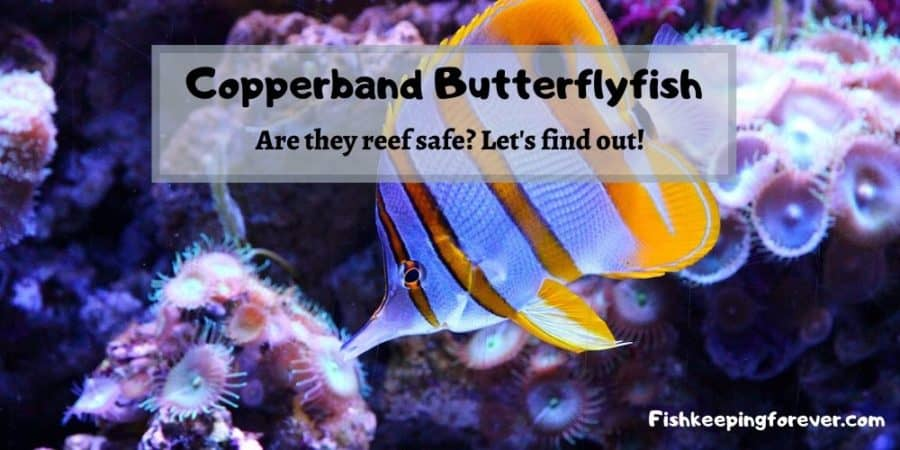 copperband butterflyfish reef safe