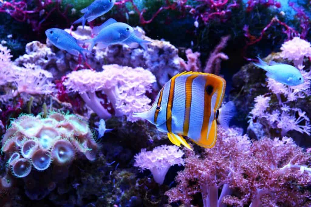 copperband butterflyfish reef safe?