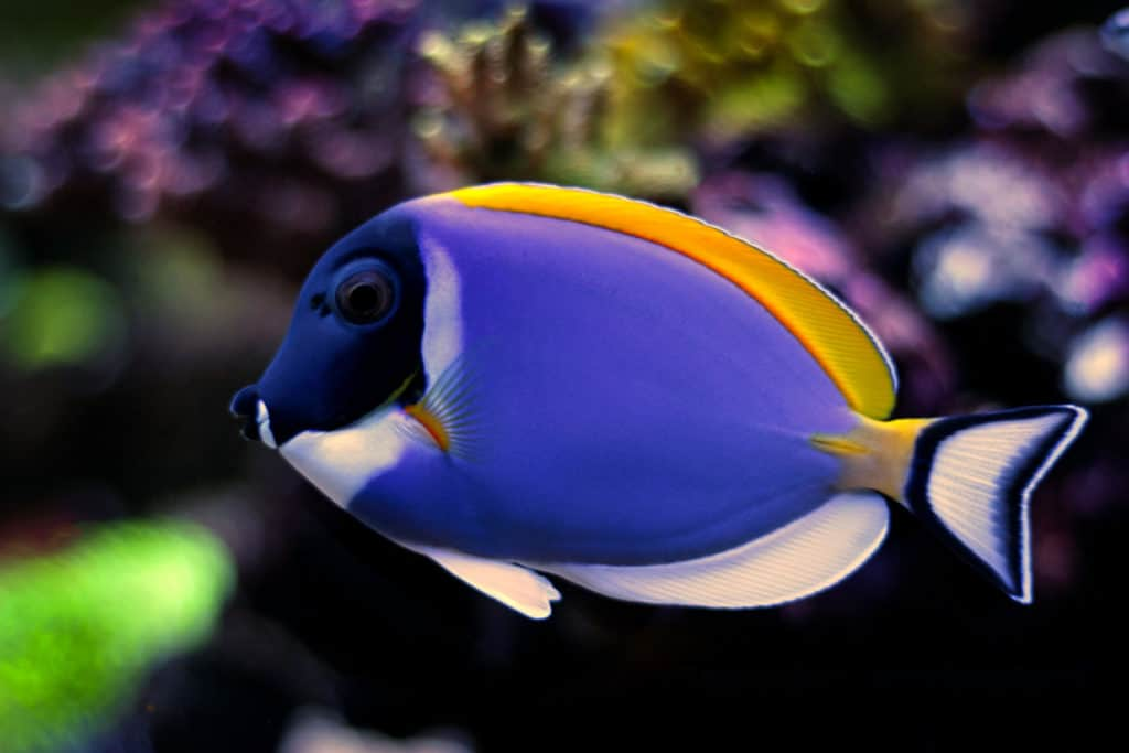 are powder blue tang aggressive?
