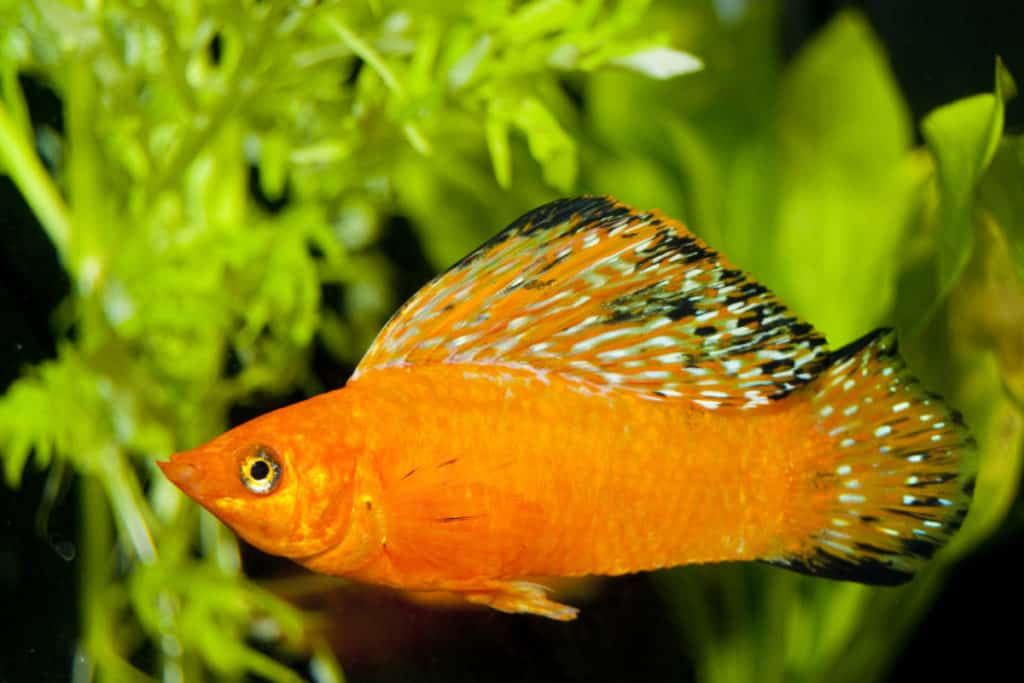 sailfin molly