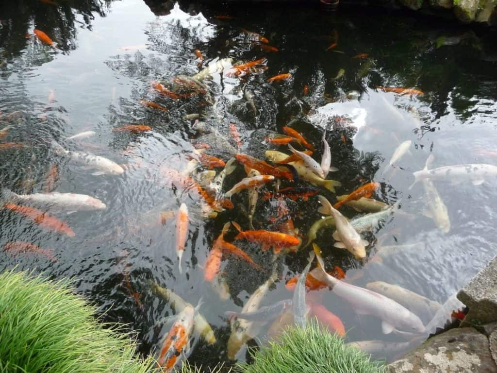 pond fish dead after heavy rain