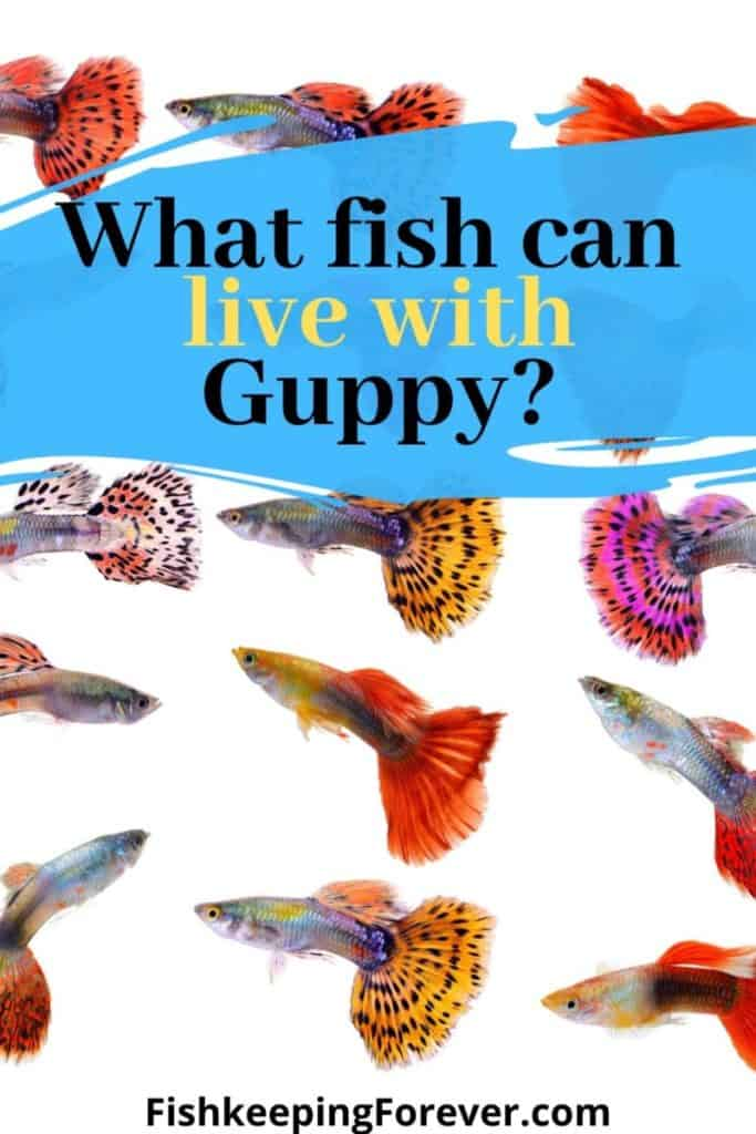 what fish can live with guppy