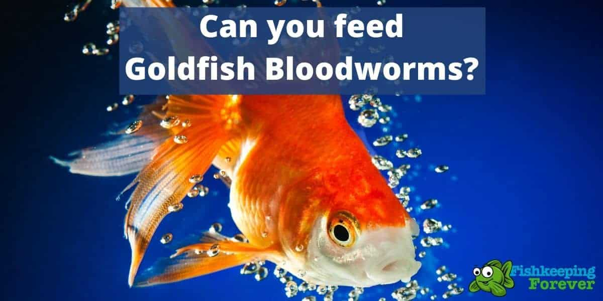 goldfish eating bloodworms