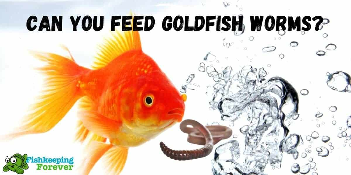 goldfish eating worms