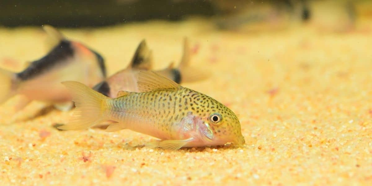 corydoras catfish on sand