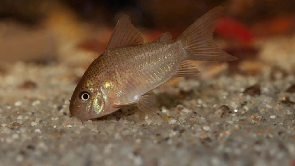 corydoras catfish in the sand