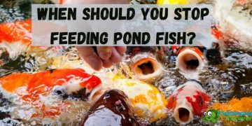 When Should you stop feeding pond fish?
