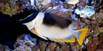 Magnificent Foxface rabbit fish