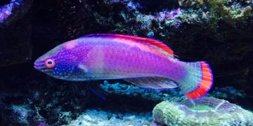 pink margin fairy wrasse
